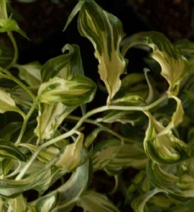Disporum cantoniense Moonlight 3lt